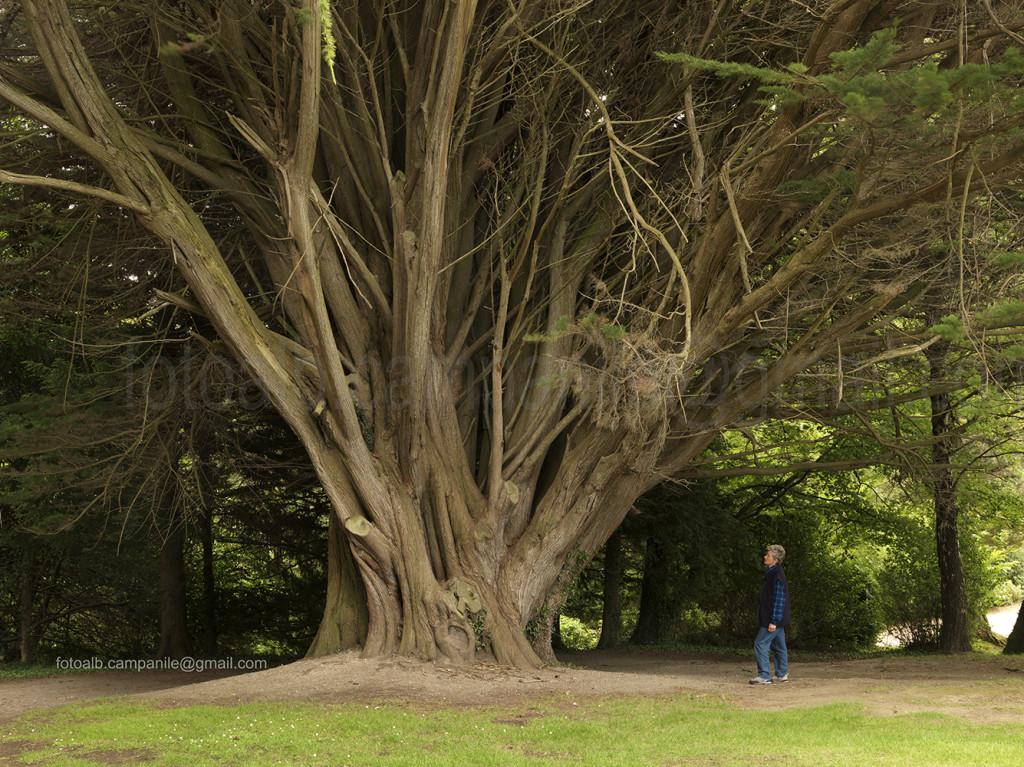 Irlanda 422 Enniskerry, Powerscourt House and Garden, Cupressus macrocarpa 0000