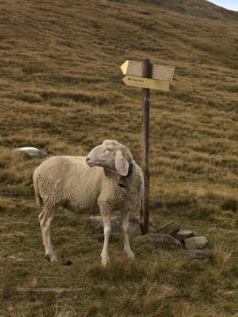 Transumanza 154 Pecore nei pressi del rifugio Martin Busch