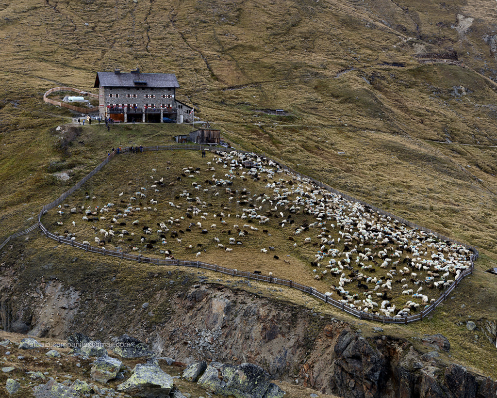 Transumanza 208 Pecore nei pressi del rifugio Martin Busch 0000