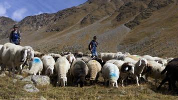Transumanza 590 tra il rif Similaun e Vernago in Val Senales