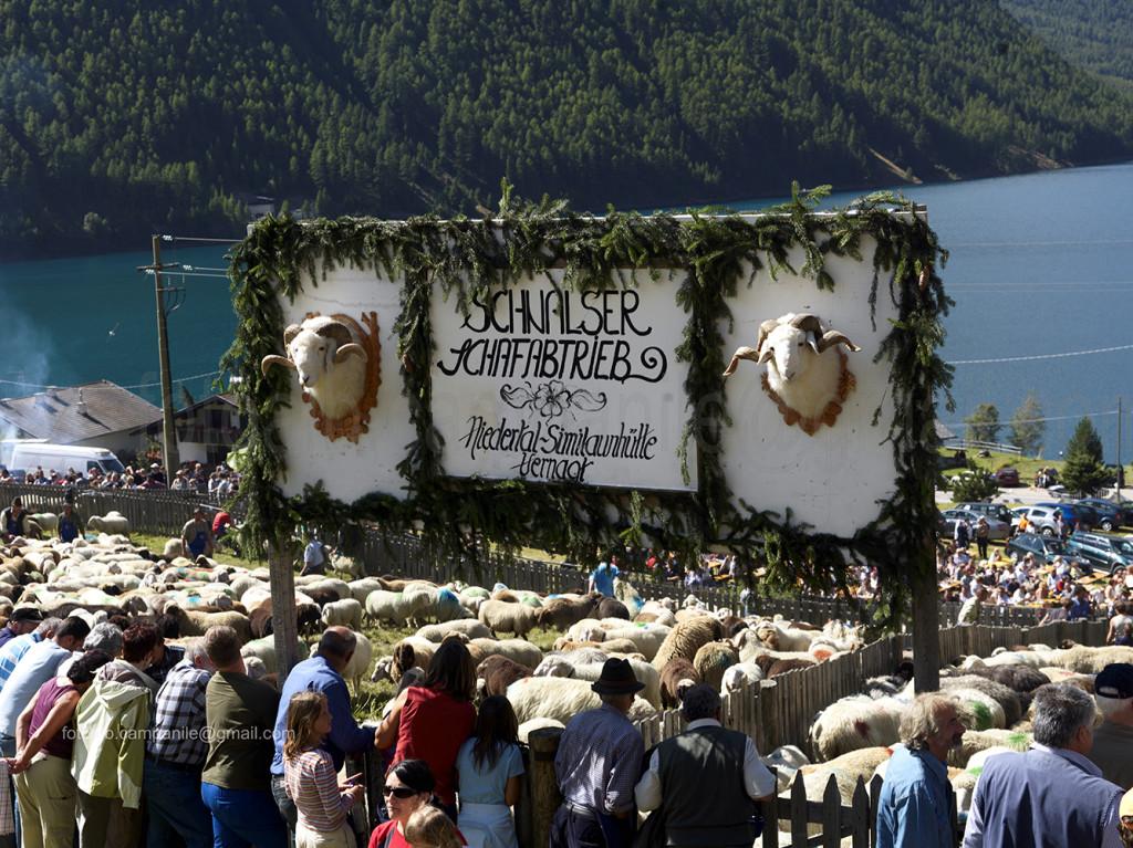 Transumanza 617 transumanza arrivo delle pecore a Vernago in Val Senales 0000