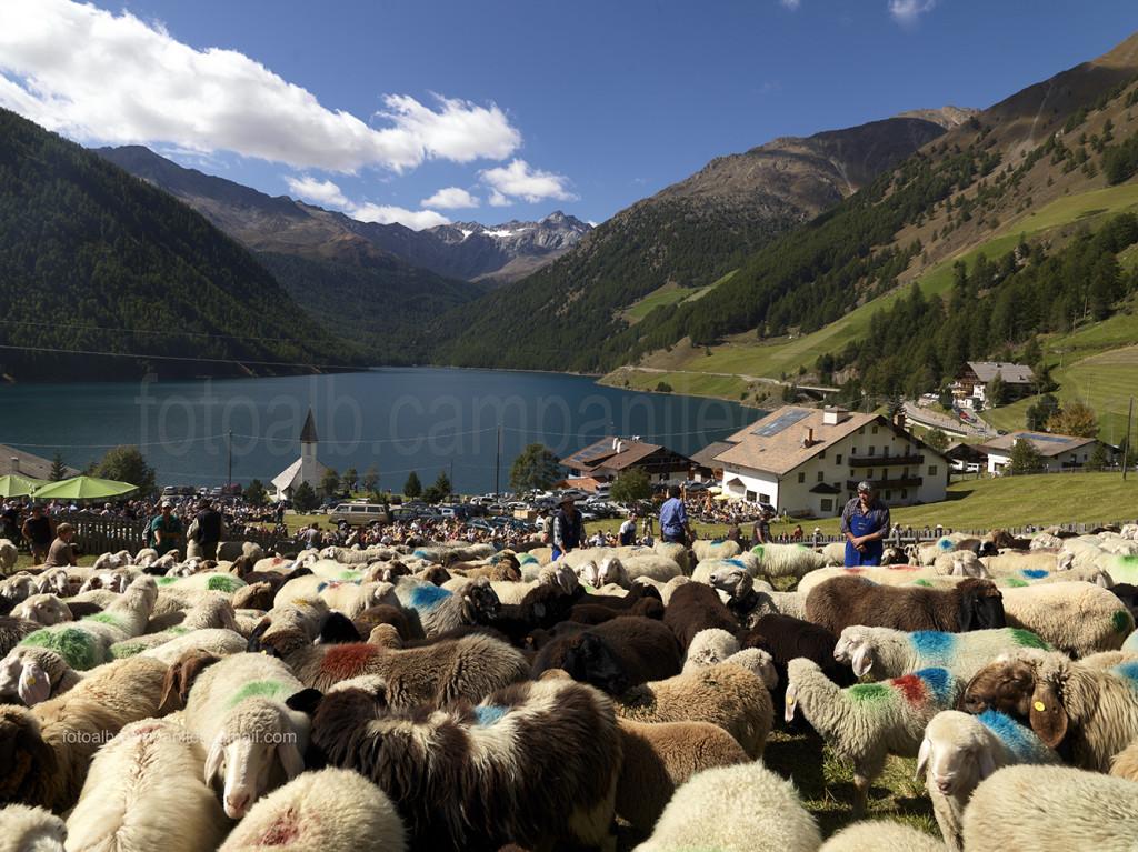 Transumanza 625 transumanza arrivo delle pecore a Vernago in Val Senales 0000