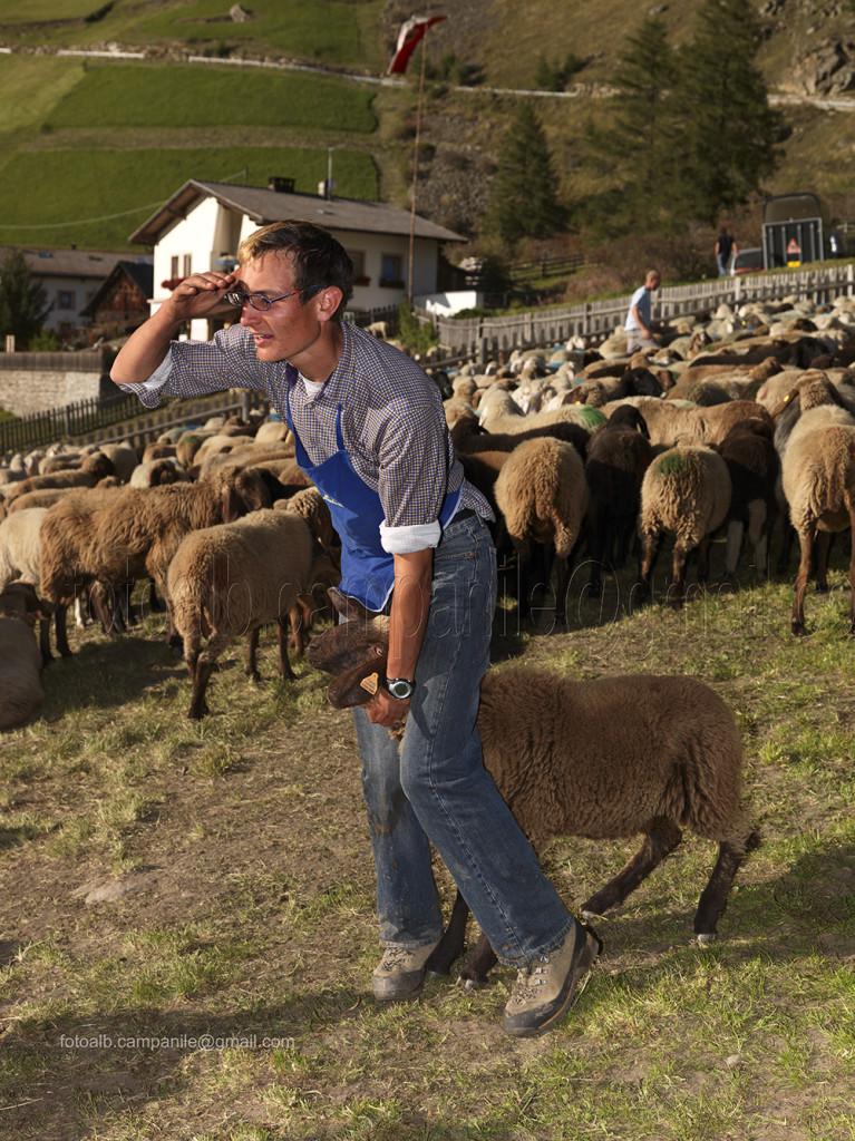 Transumanza 635 Vernago Val Senales, divisione pecore