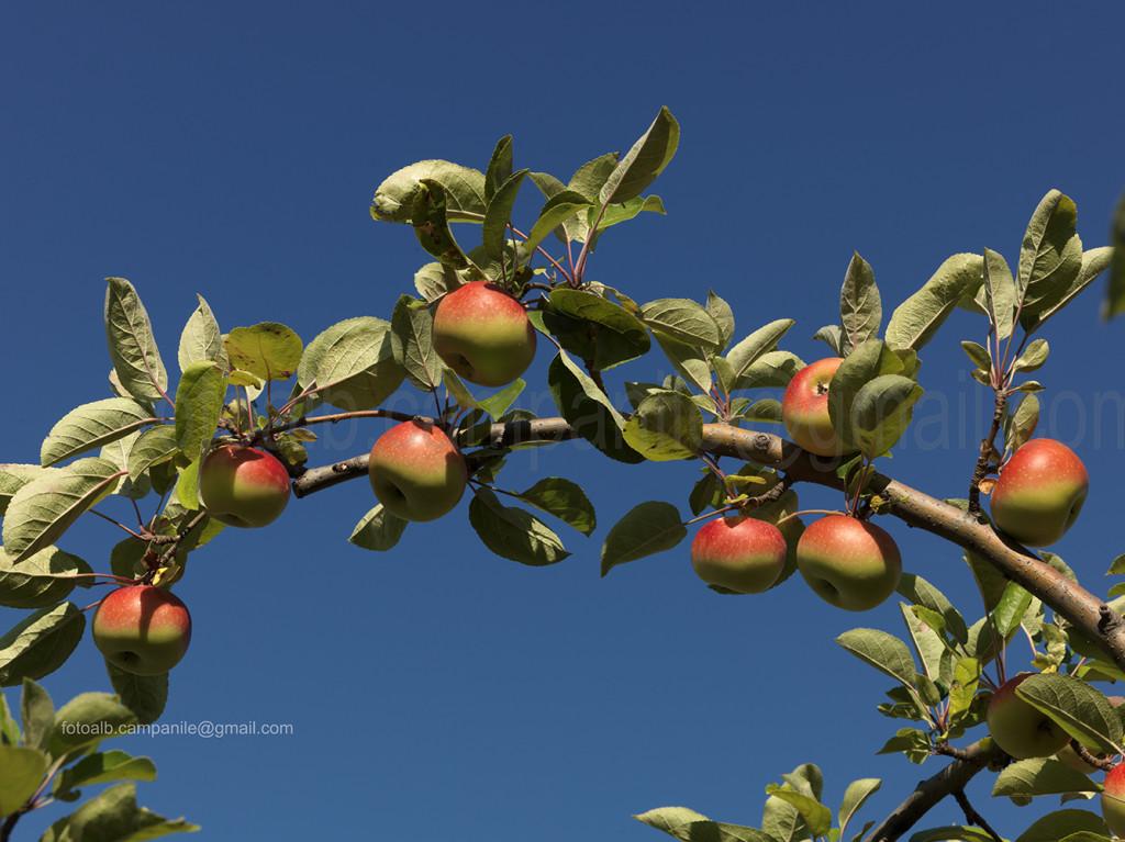 Apples, Caldaro, Alto Adige, South Tyrol, Italia, Italy; Europe