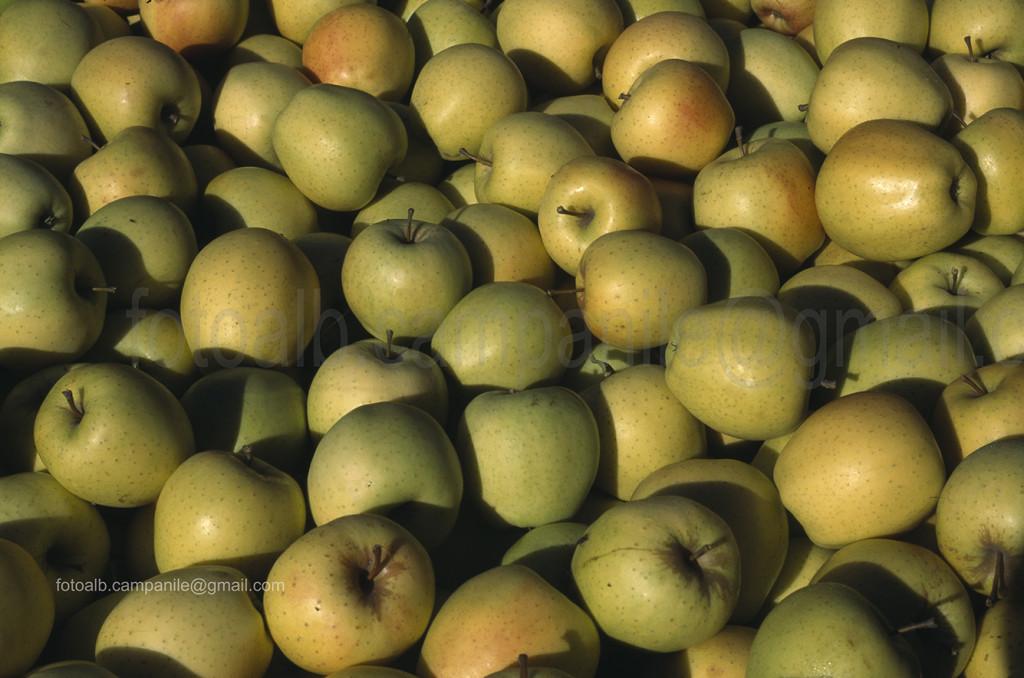 Picking apples, Appiano (Eppan), Alto Adige, South Tyrol, Italia, Italy; Europe