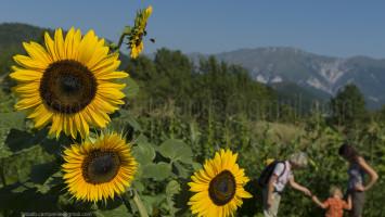 Sunflowers, Robidisce, Slovenia, Europe