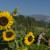 Sunflowers, Robidisce, Slovenia, Europe