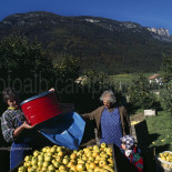 Picking apples, Appiano (Eppan), Alto Adige, South Tyrol, Italia, Italy; Europe