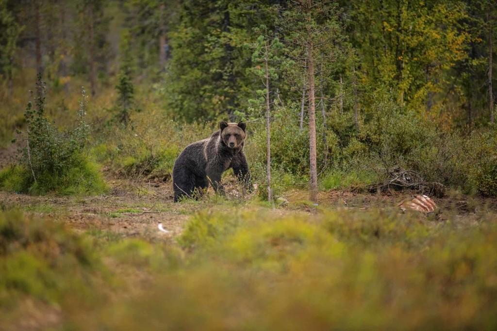 Avvistamento orso bruno_foto Michael Törnkvist_Explore the North (2)